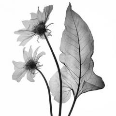 Arrow Leaf Balsamroot
