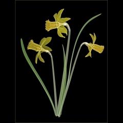 Daffodil Trio on Black
