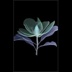 Magnolia on Black