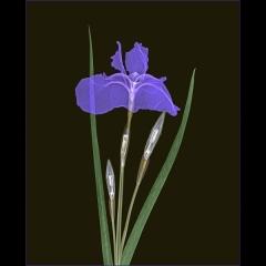Siberian Iris on Black