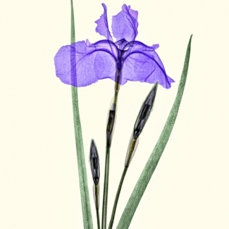 Japanese Siberian Iris