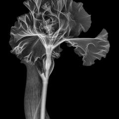 Silverado Iris